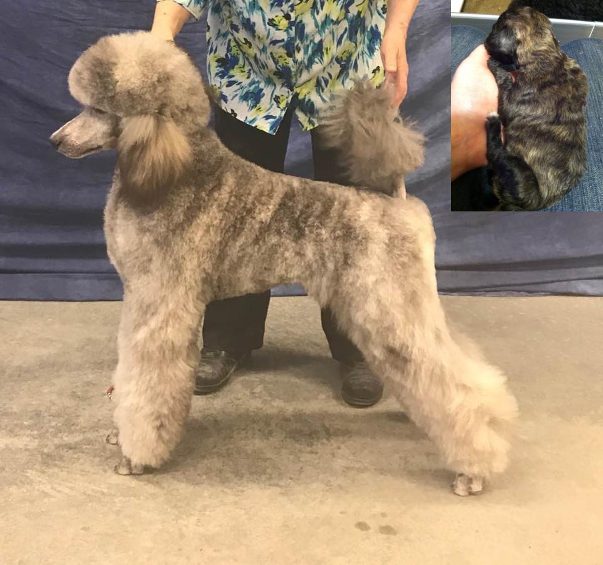 Poodle Coat Colors United Poodle Association